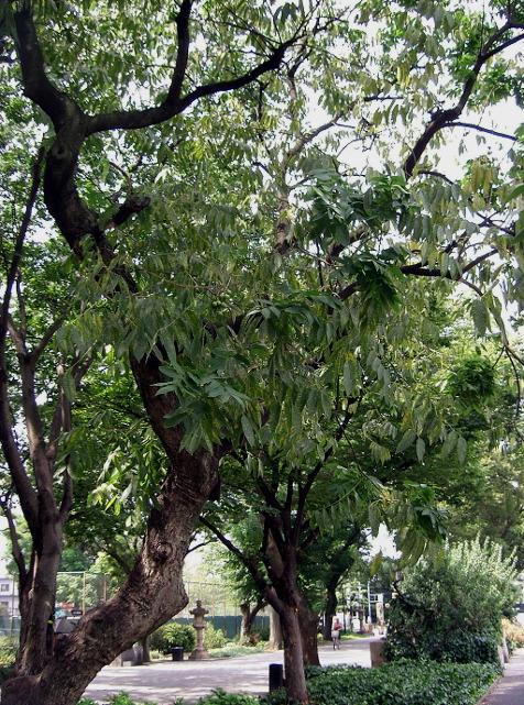 Sapindus Mukorossi. Autor: KENPEI, licencja: Uznanie autorstwa-Na tych samych warunkach 3.0 Unported, źródło: http://commons.wikimedia.org/wiki/File:Sapindus_mukorossi2.jpg?uselang=pl