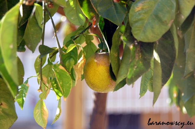 Czas dojrzewania sycylijskich pomarańczy jeszcze nie nastał.