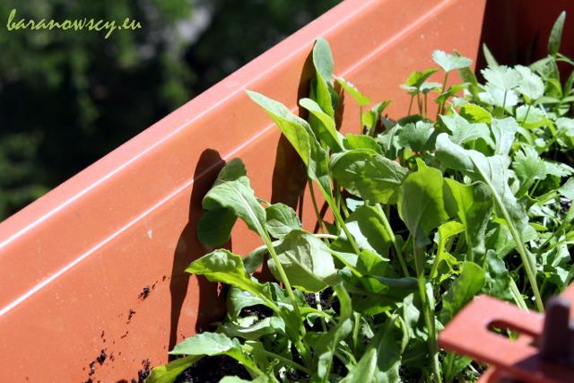 Zielenina uprawiana na balkonie.