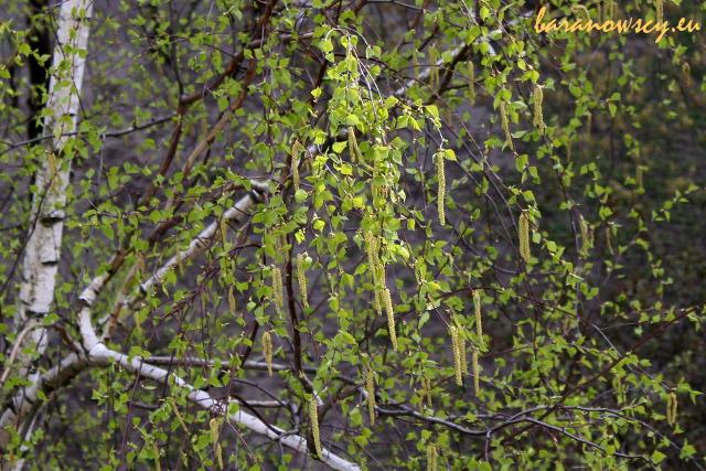 Kwitnąca (i pyląca) brzoza.