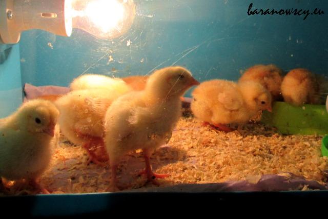 inkubator_kurczaki