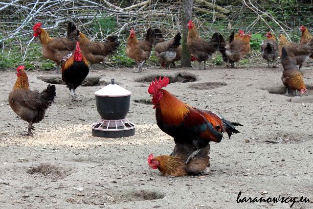 Tak się robi kurczaczki.