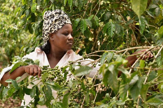 Kobieta z Kabngetuny Cooperative, zbierająca kawę, Kenia