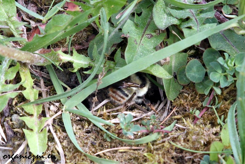 Trzmiel szukający dziury w ziemi, być może chce założyć gniazdo