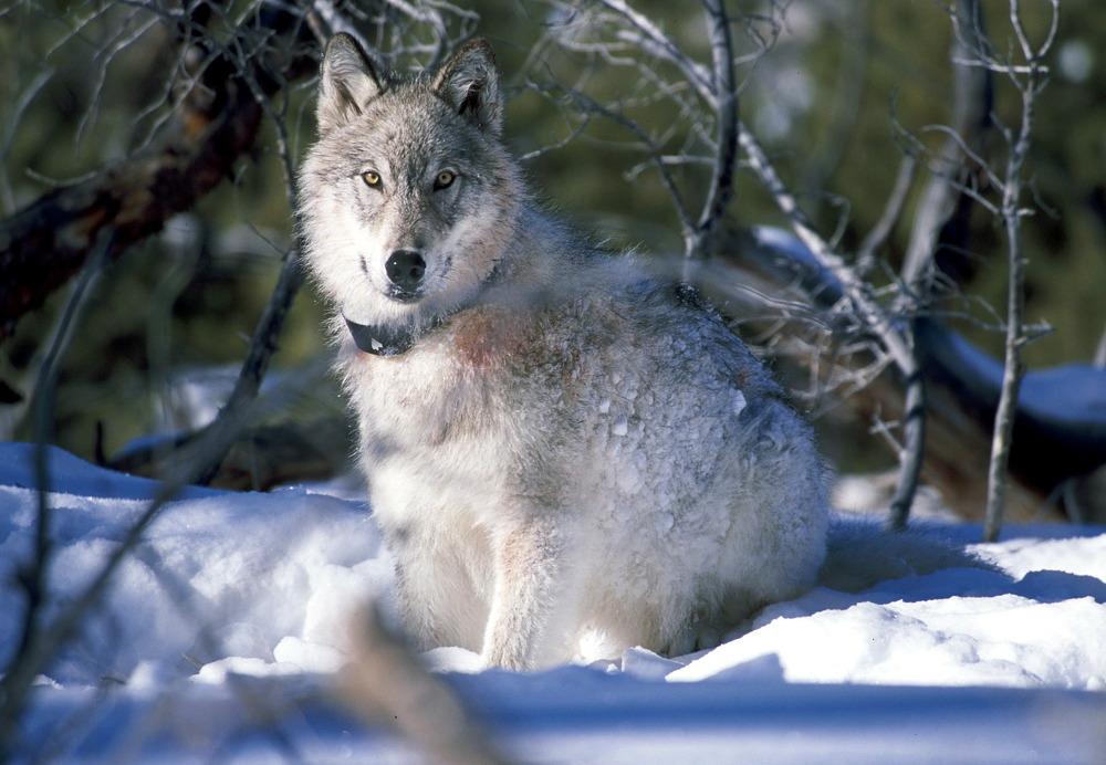 Wilk w Yellowstone, źródło: Pixabay