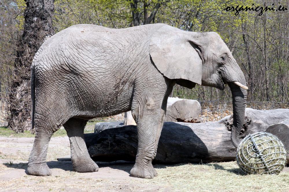 Warszawskie zoo, słoń afrykański