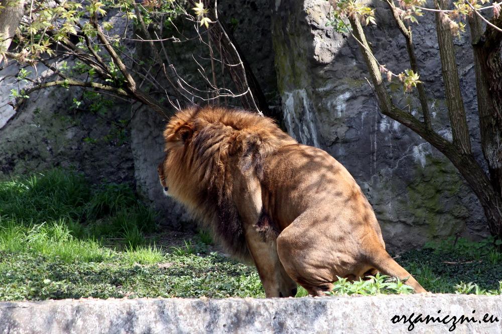 Warszawskie zoo, intymność lwa