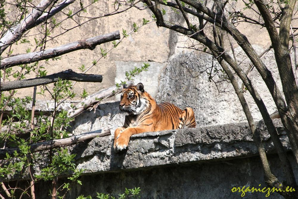 Warszawskie zoo, tygrysica Ratu
