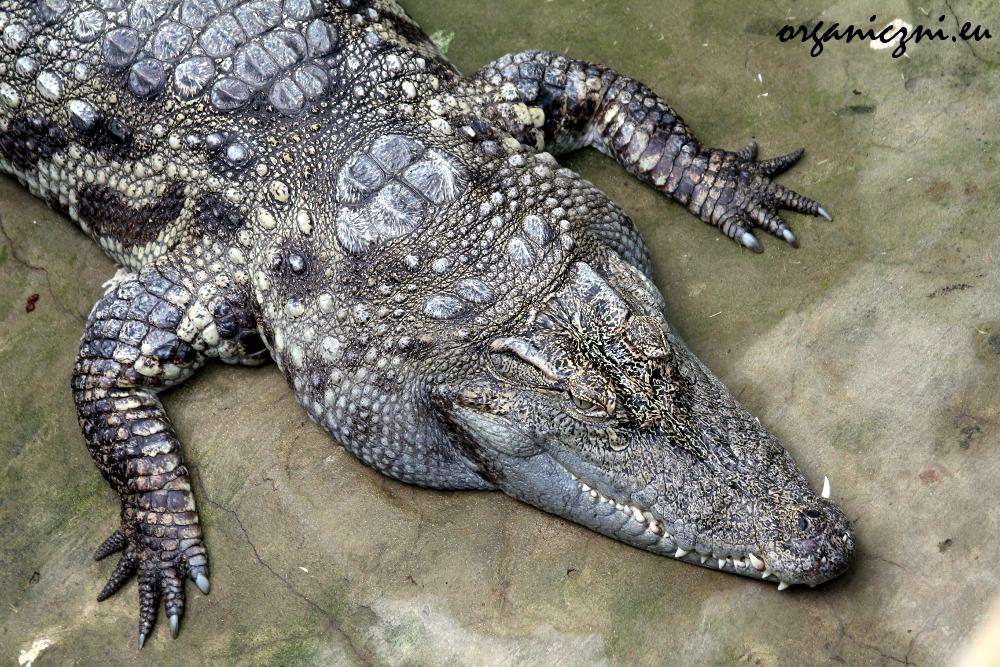 Warszawskie zoo, krokodyl nilowy