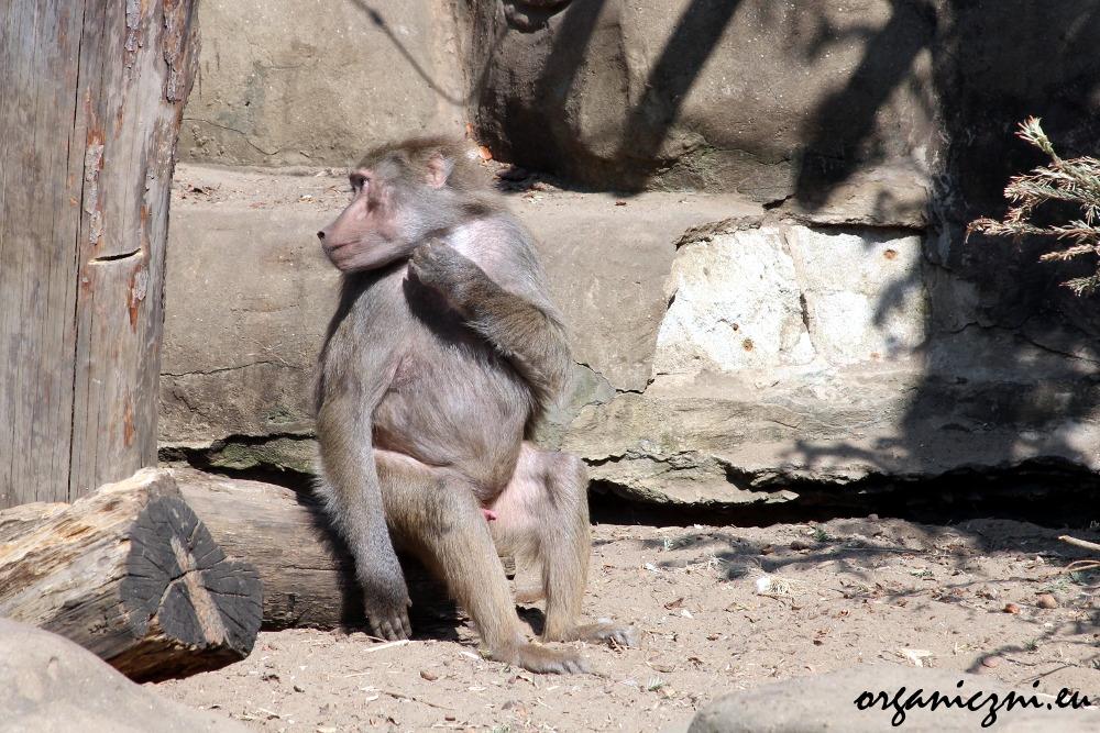 Warszawskie zoo, pawian