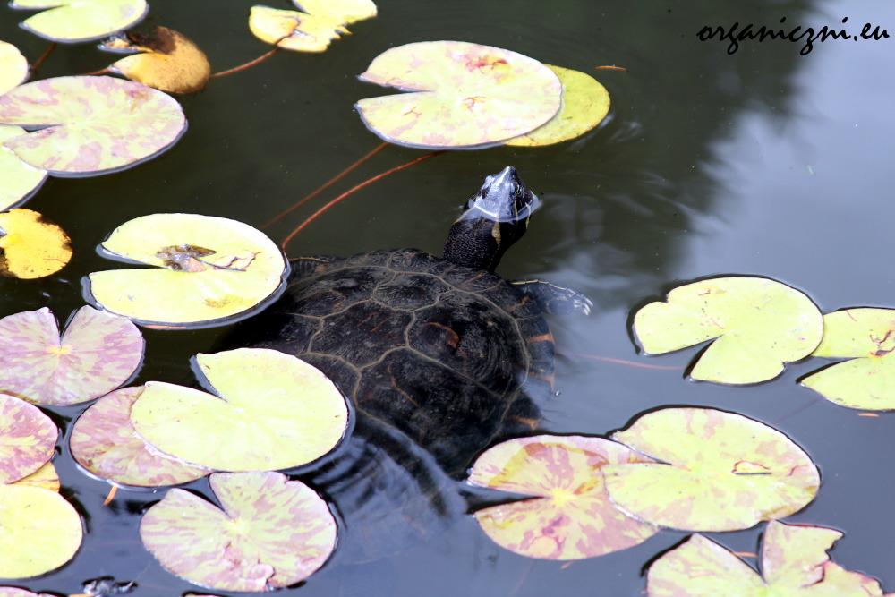 Żółw wśród lilii