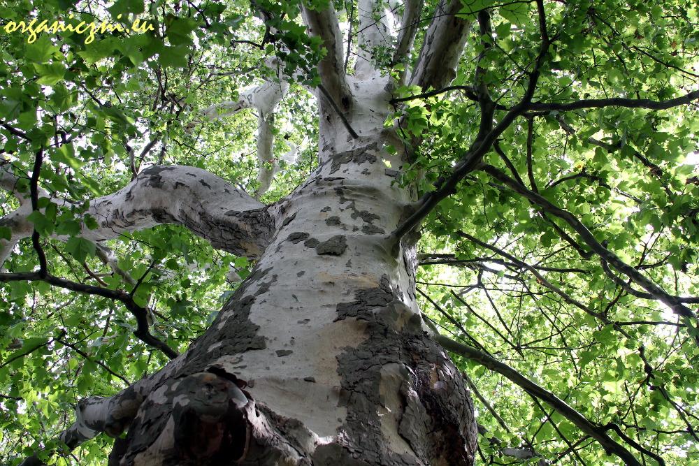 Pod takim drzewem można odpocząć