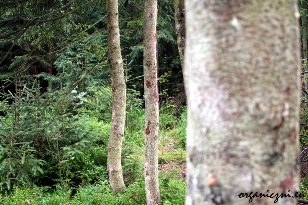 Nie wystarczy sadzić nowego lasu zamiast starych drzew