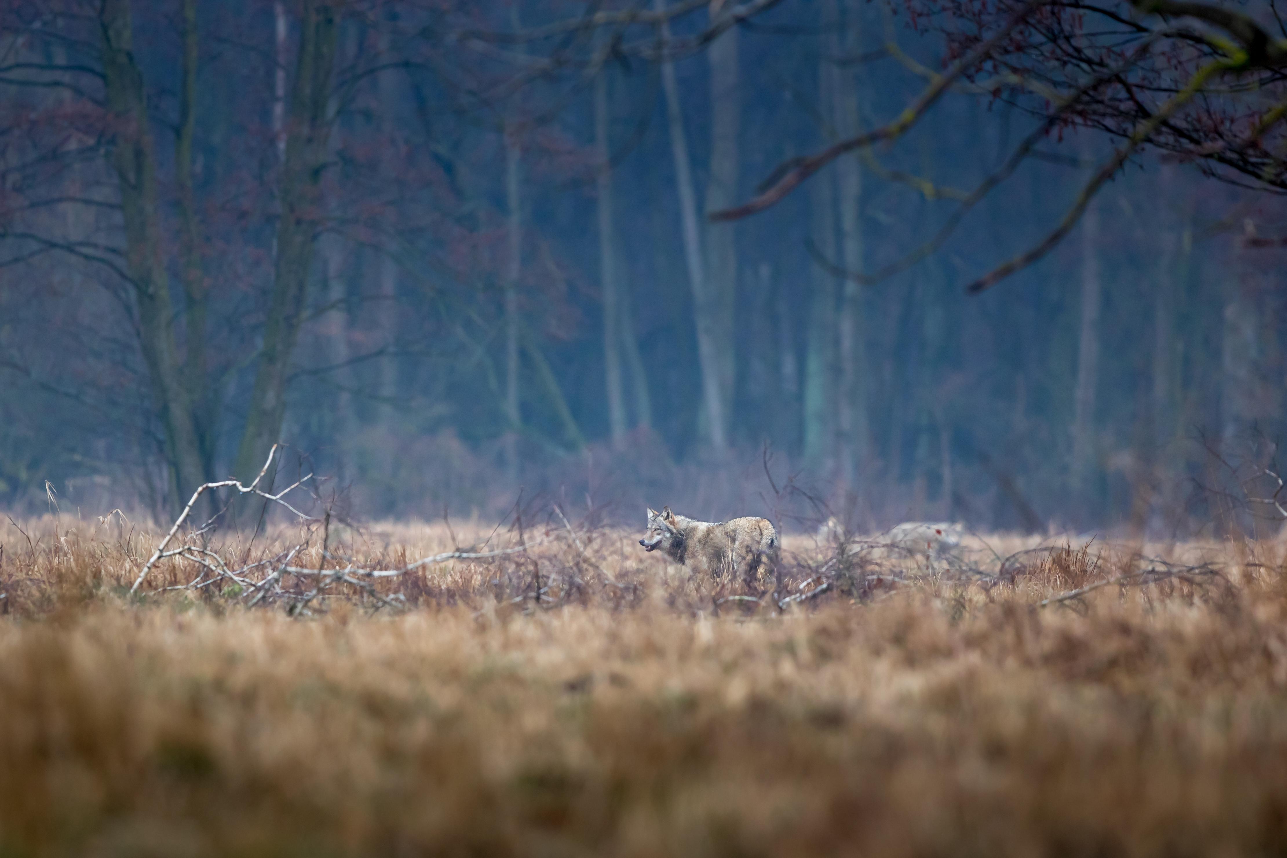Fotołowy: wilk. Zdjęcie - Julian Łoziński