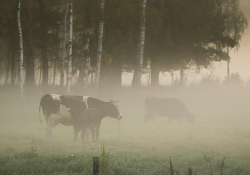 Fotołowy: krowy we mgle. Zdjęcie Luiza Brzezińska-Łozińska