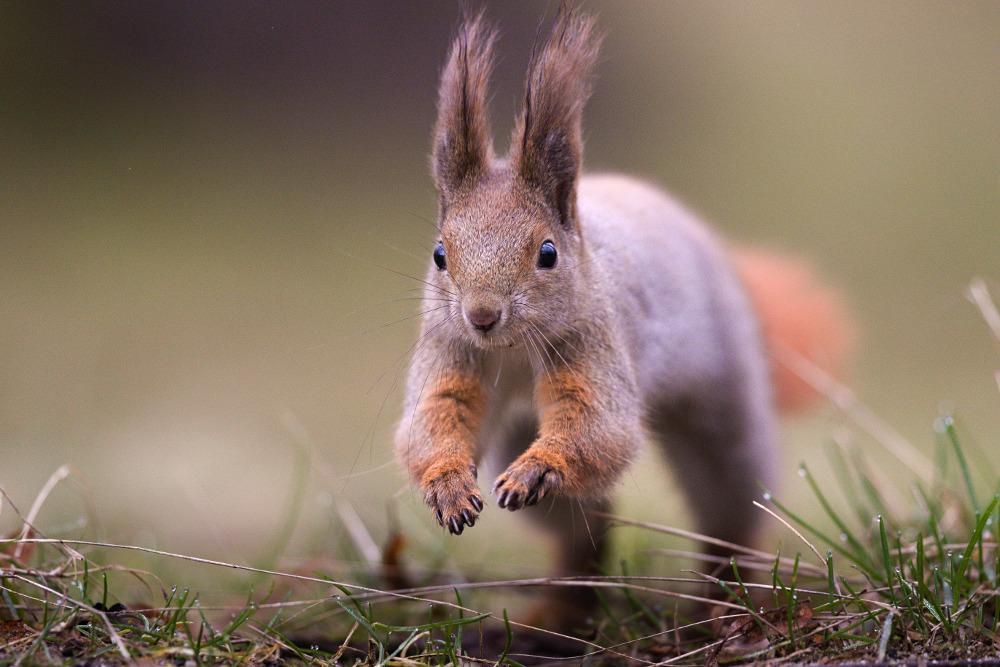 Fotołowy: wiewiórka. Zdjęcie - Julian Łoziński