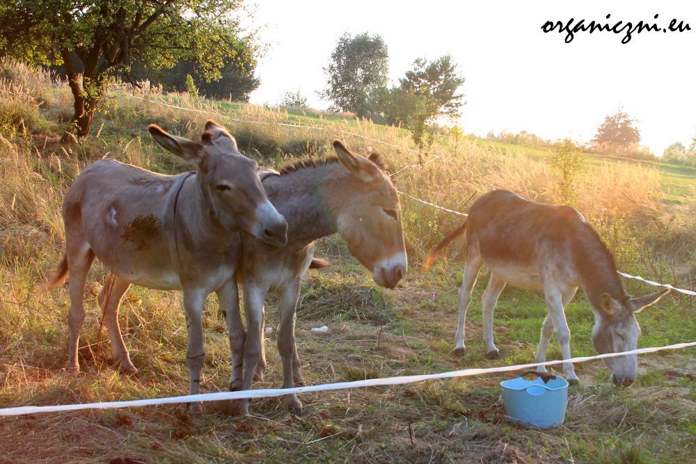 Obecnie osły są trzy - nierasowy Coco i dwóch przedstawicieli rasy Cotentin - Bonhomme i Fog. Docelowo ma ich być ósemka.