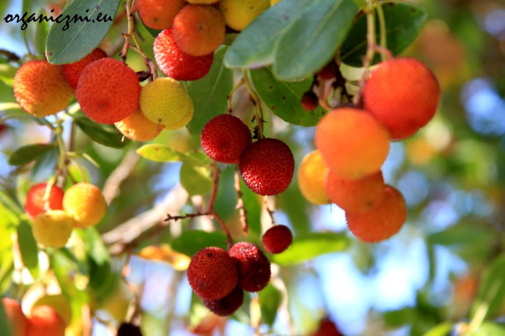 Drzewo truskawkowe (Arbutus unedo) w opuszczonym ogrodzie botanicznym w Chaves
