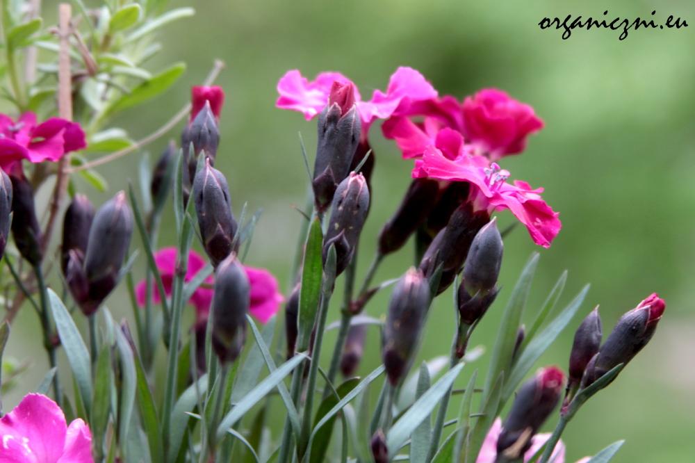Goździki, ciekawe kwiaty na balkonie