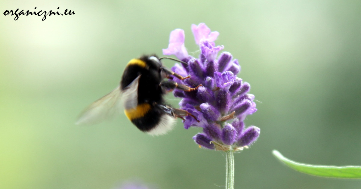 Kwiaty Na Balkonie Ktorymi Nakarmisz Pszczoly Organiczni Eu