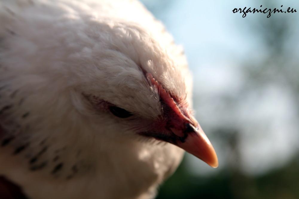 Niezwykle towarzyska kura Bianka